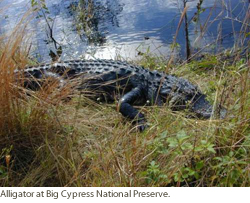 Alligator at Big Cypress National Preserve. Courtesy of USGS.