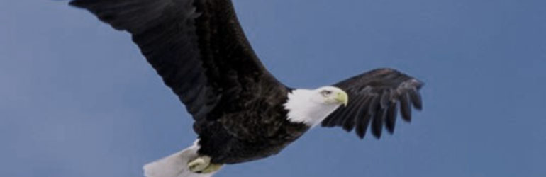 Bald Eagle. Courtesy of USFWS.