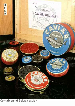 Several containers of Beluga caviar.