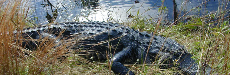 An alligator sunning itself along the banks of a canal, north of US 41 (Tamiami Trail) and just west of the Big Cypress National Preserve Visitor Center.  Courtesy of USGS.
