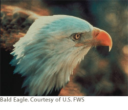 Bald Eagle. Courtesy of U.S. FWS