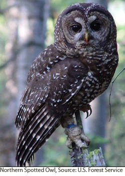 Northern Spotted Owl.  Courtesy of U.S. Forest Service.