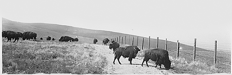 An view of bison grazing on the Flathead Reservation in Montana. Courtesy of the National Archives, Records of the Bureau of Indian Affairs, 1793 - 1999