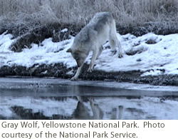 Gray Wolf, Yellowstone National Park. Courtesy of NPS.