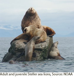 Adult and juvenile Steller sea lions.  Courtesy of NOAA.