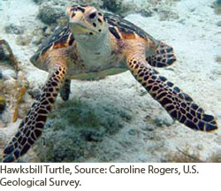 Hawksbill turtle. Courtesy of Caroline Rogers/USGS.