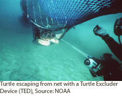 Turtle escaping from net with a Turtle Excluder device (TED).  Courtesy of NOAA.