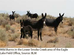 Wild Burros in the lower Smoke Creek area of teh Eagle Lake field office.  Courtesy of BLM.