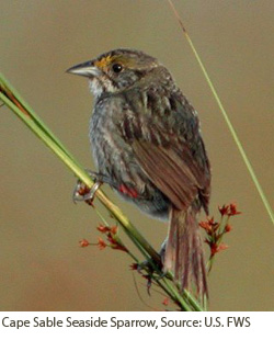 Cape Sable Seaside Sparrow.  Courtesy of USFWS.