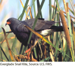 Everglade Snail Kite.  Courtesy of USFWS.