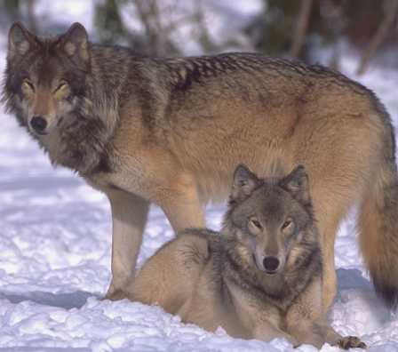 Wolfs on snow. Courtesy of FWS.