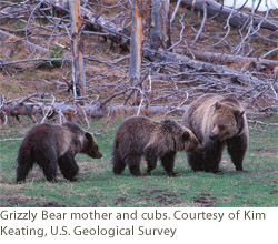 Grizzly Bear mother and cubs. Courtesy of Kim Keating, U.S. Geological Survey