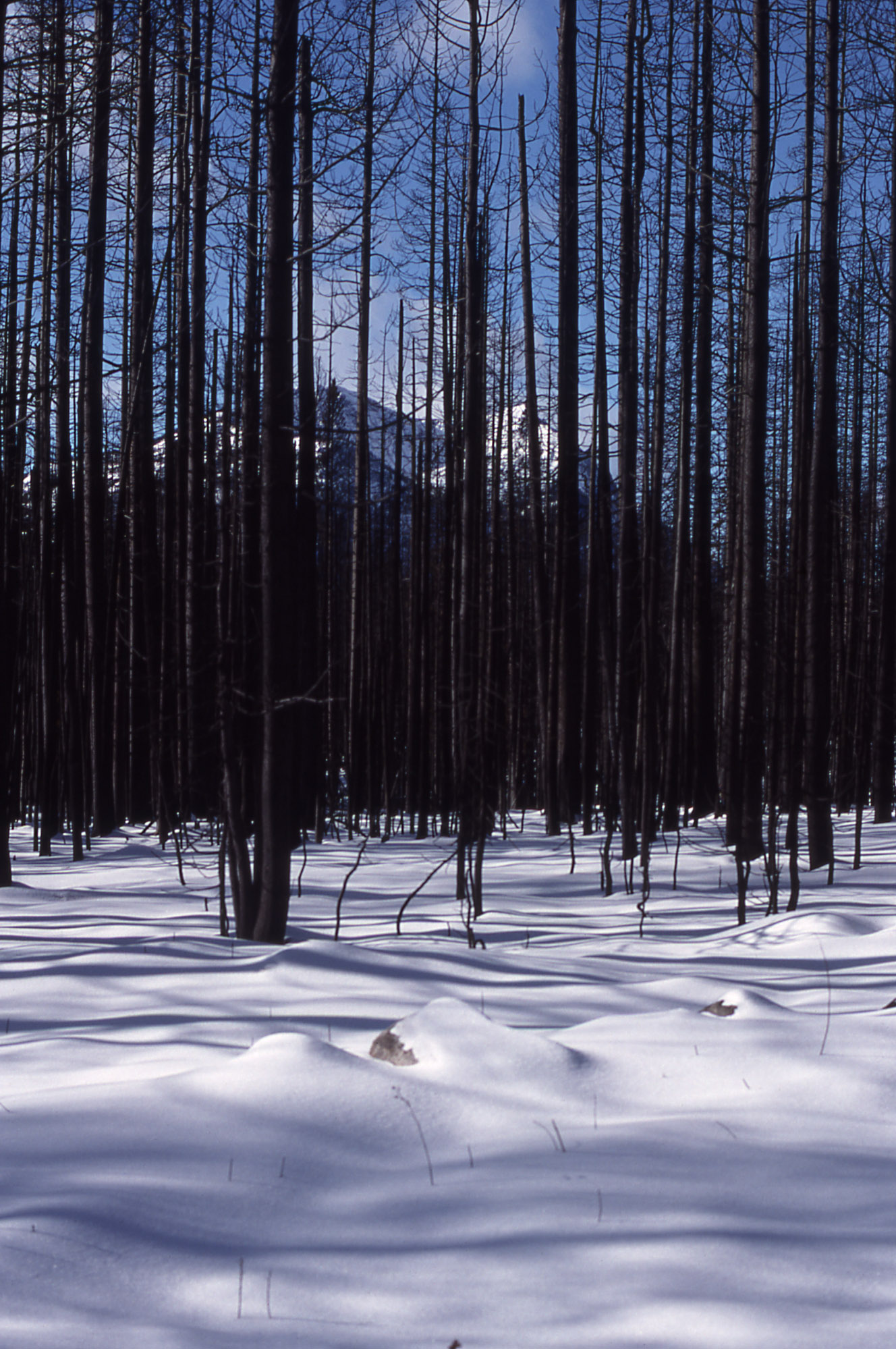 Forest east of Cooke City, MT in the aftermath of the 1988 Yellowstone forest fires.  Courtesy of NPS.
