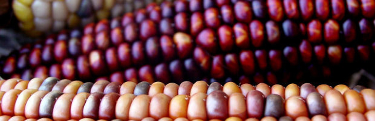 Close-up of colorful indian corn.  Courtesy of USDA.