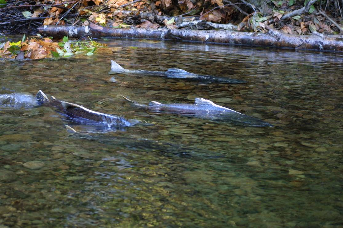 Fall Chinook Salmon spawning.  Courtesy of the Coleman National Fish Hatchery.