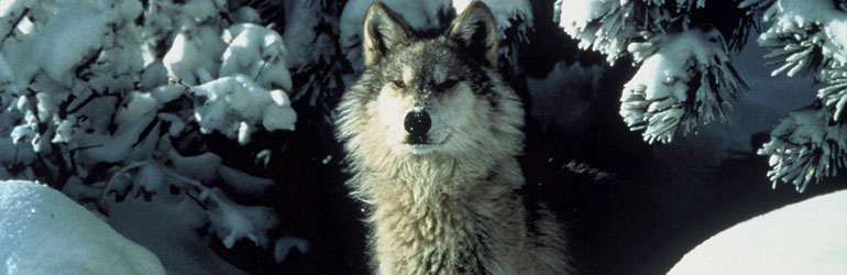 Gray Wolf. Courtesy of USFWS/Tracy Brooks