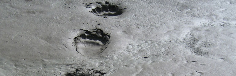 Grizzly Bear Tracks on the Toklat River. Courtesy of NPS.