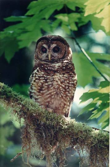 The Northern Spotted Owl.  Courtesy of USGS.