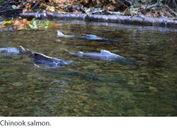 Chinook salmon. Courtesy of USGS.
