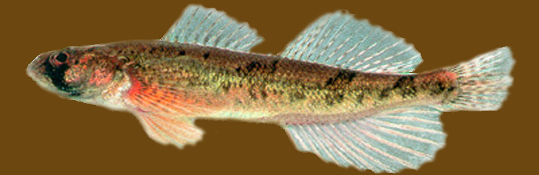 Snail Darter. Courtesy of USGS