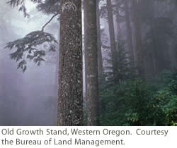 Old Growth Stand, Western Oregon. Courtesy of BLM.