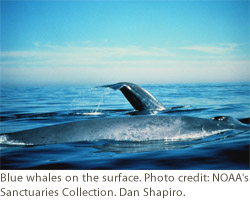 Blue whales on the surface. Photo credit: NOAA's Sanctuaries Collection. Dan Shapiro.