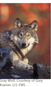Gray Wolf. Courtesy of Gary Kramer, U.S. FWS