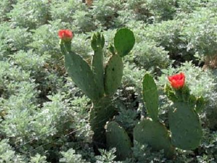 Prickly pear cactus in bloom at Phoenix Desert Botanical Gardens (April 2014)