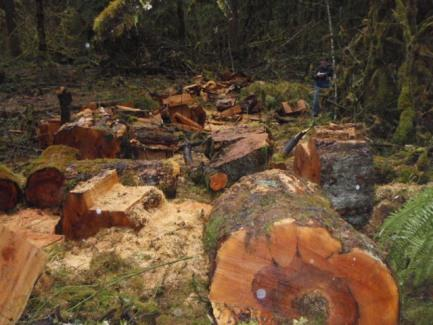 Remains of stolen maple tree