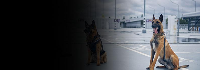 Security police dogs or detection dogs sitting at military facility
