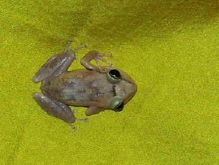 A coquí, a native species to the island of Puerto Rico