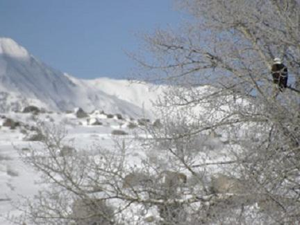 Picture of eagle sitting in a tree during the winter months with a moutain covered with snow in the background