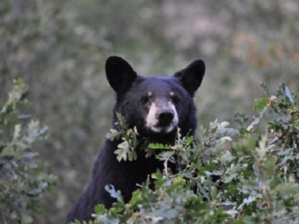 Image of a black bear hiding in the bushes in Metro Denver, Colorado