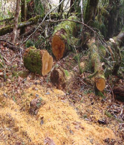 Maple tree cut