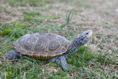 Diamondback Terrapin in the grass.