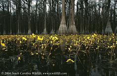 Bladderwort Plants of South Carolina