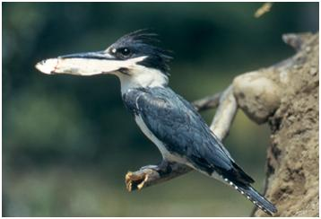 Belted Kingfisher with Fish, Courtesy of the National Park Service