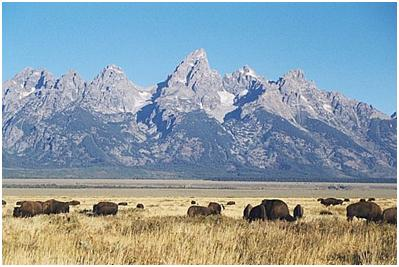 Bison on Antelope Flats near Jackson, Courtesy of the National Park Service