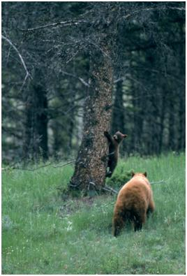Black Bear Sow and Cub, Courtesy of the National Park Service