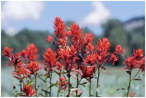 Indian Paintbrush, Courtesy of the National Park Service