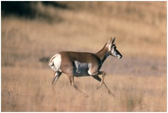 Pronghorn Doe Running Through Meadow, Courtesy of the National Park Service