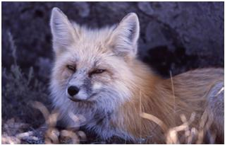 Red Fox, Courtesy of the National Park Service