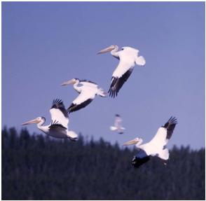 White Pelicans in Flight, National Park Service Photo
